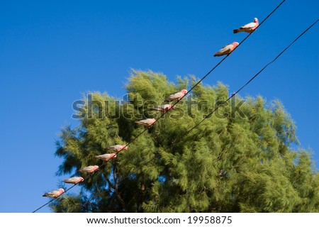 Galahs on a wire - stock photo