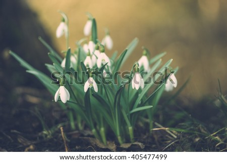 Galanthus nivalis or common snowdrop flowers, shallow depth of field - stock photo