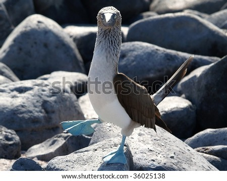 Galapagos Blue Footed Booby - stock photo