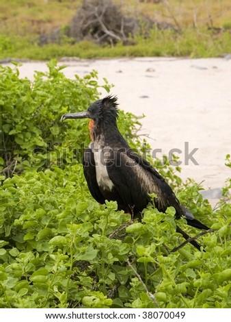 Galapagos Frigate Bird - stock photo