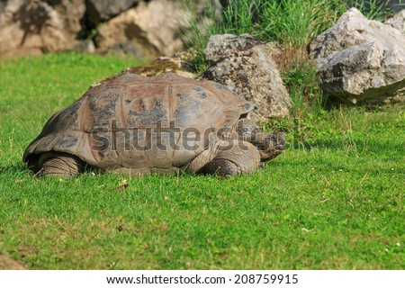 Galapagos giant tortoise - stock photo
