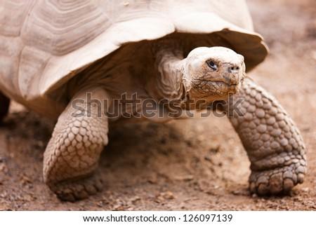 Galapagos giant tortoise close up portrait - stock photo