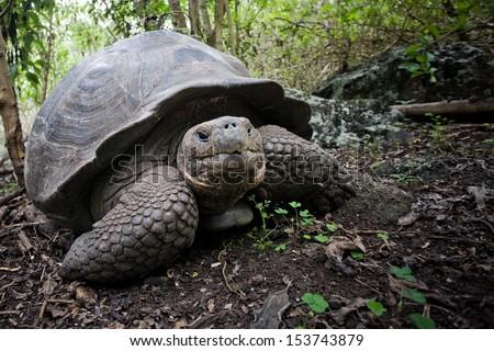 Galapagos (giant) tortoise (Geochelone nigra), Santa Crus Island, Ecuador - stock photo