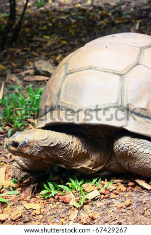 Galapagos giant tortoise is the largest living species of tortoise, - stock photo