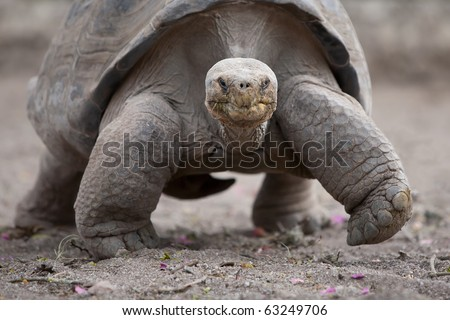 Galapagos giant tortoise is the largest living species of tortoise, reaching weights of over 400 kilograms and lengths of 1.8 meters. It is among the longest lived of all vertebrates. - stock photo