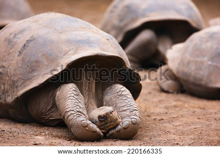 Galapagos giant tortoise sleeping or resting - stock photo