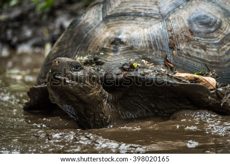 Galapagos giant tortoise wallowing in muddy pond