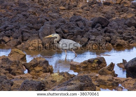 Galapagos Great Blue Heron wading in a rocky tide pool - stock photo