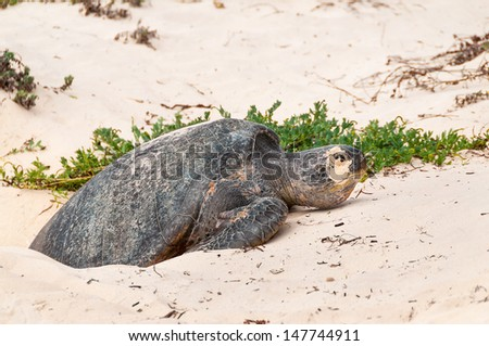 Galapagos green turtle laying eggs on a beach on Floreana Island. - stock photo
