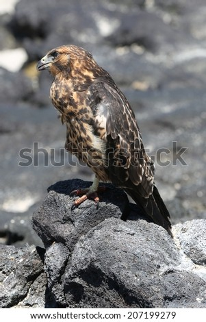 Galapagos Hawk - stock photo