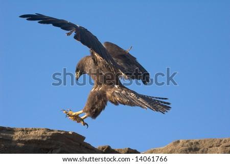 Galapagos Hawk (Buteo galapagoensis) landing on a cliff.  Vulnerable and endemic to the Galapagos islands.  Puerto Egas, James Island, Galapagos, Ecuador. - stock photo