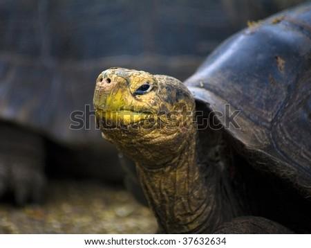 Galapagos Island Tortoise - stock photo