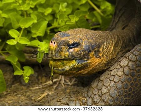 Galapagos Island Tortoise Eating - stock photo