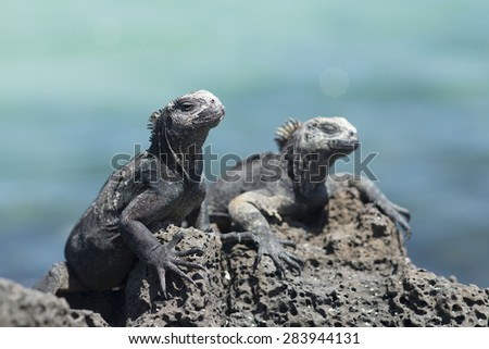 Galapagos Islands Sea Iguana - stock photo