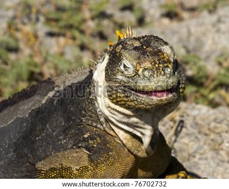 Galapagos land iguana on South Plaza Island (Conolophus subcristatus) - stock photo