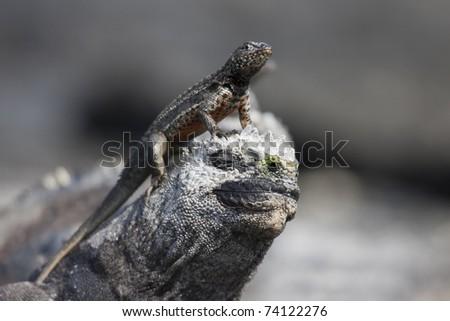 Galapagos Lava Lizard (Microlophus albemarlensis) male sunning itself on the head of a Marine Iguana (Amblyrhynchus cristatus cristatus) on Fernandina Island, Galapagos. - stock photo