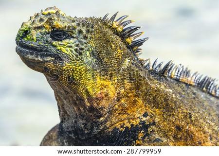 Galapagos marine iguana, Isabela island (Ecuador) - stock photo
