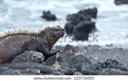 Galapagos Marine Iguanas located only on the Galapagos, unique among modern lizards, to live and forage in the sea, making it a marine reptile. Isabela Island, Galapagos Islands, Ecuador - stock photo