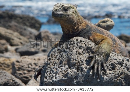 Galapagos marine iguanas resting on the sun - stock photo