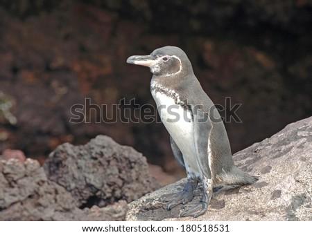 Galapagos Penguin, Galapagos Islands, Ecuador - stock photo