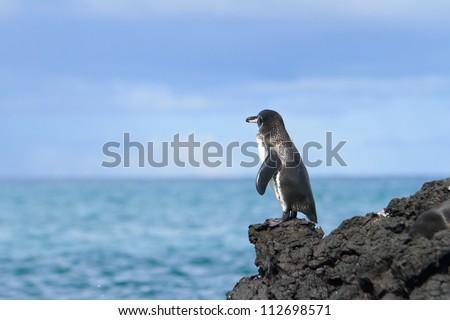 Galapagos Penguin (Spheniscus mendiculus) looking at the ocean - stock photo