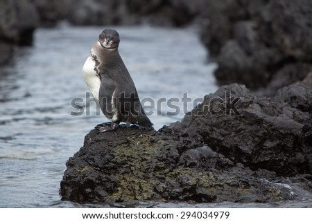 Galapagos Penguin (Spheniscus mendiculus) standing on a rock and looking at the camera on Isabela Island. Galapagos Islands. Ecuador 2015. - stock photo