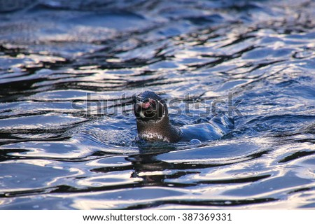 Galapagos Penguin (Spheniscus mendiculus) swimming near Bartolome island, Galapagos National Park, Ecuador. It is the only penguin that lives north of the equator in the wild. - stock photo