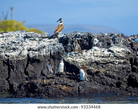 Galapagos Penguins looking around at Isabela, Galapagos - stock photo