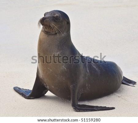 Galapagos Sea Lion on Beach on Espanola Island, Galapagos Islands, Ecuador - stock photo