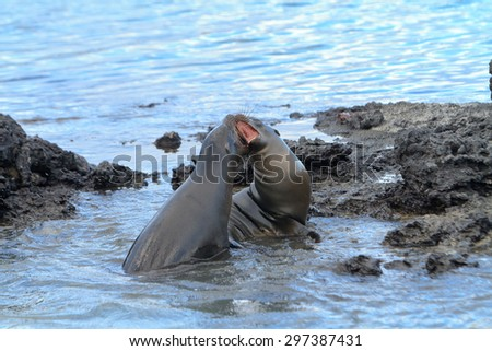 Galapagos sea lion  playing or fighting at the beach in the wild - stock photo