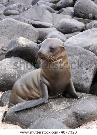 Galapagos Sea Lion Pup - stock photo
