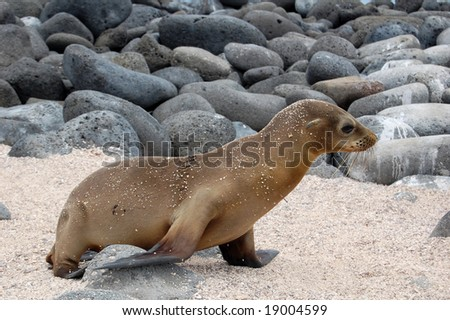 Galapagos Sea Lion (Zalophus wollebaeki) is a mammal endemic to Ecuador. Within the colony sea lion pups live together in a rookery. Pups can be seen together napping, playing, and feeding. - stock photo