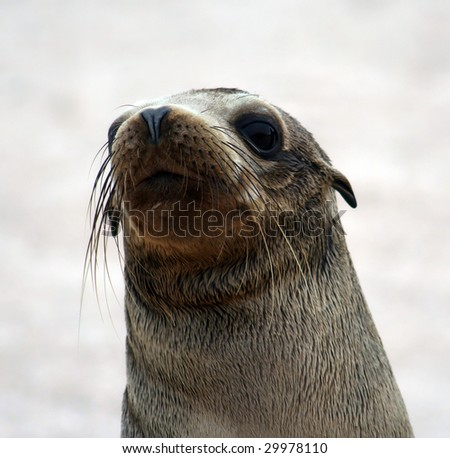 Galapagos sea lion (Zalophus wollebaeki) posing for the camera - stock photo
