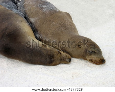Galapagos Sea Lions Snuggling - stock photo