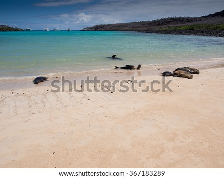 Galapagos sea lions (Zalophus wollebaeki) relaxing on the beach, Santa Fe, Galapagos Archipelago - stock photo