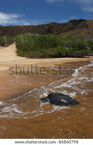 Galapagos sea turtle laying eggs