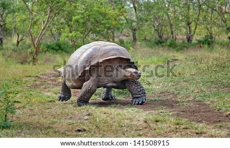 Galapagos Tortoise - stock photo