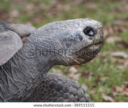 Galapagos tortoise head close up with large black and white eye against a brown leaf strewn green grass background - stock photo
