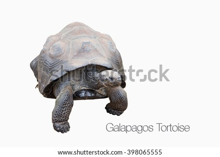 Galapagos Tortoise Isolated on White Background with Identification - stock photo