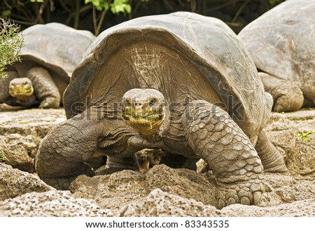 Galapagos Tortoises Approaching - stock photo