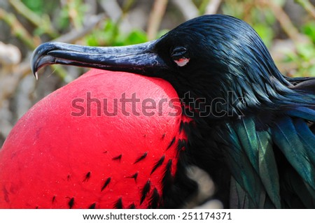 galapgagos island red throated frigate birds during mating season - stock photo