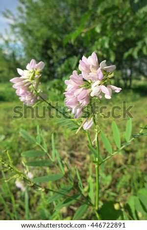 Galega or goat's-rue (Galega officinalis) in the meadow