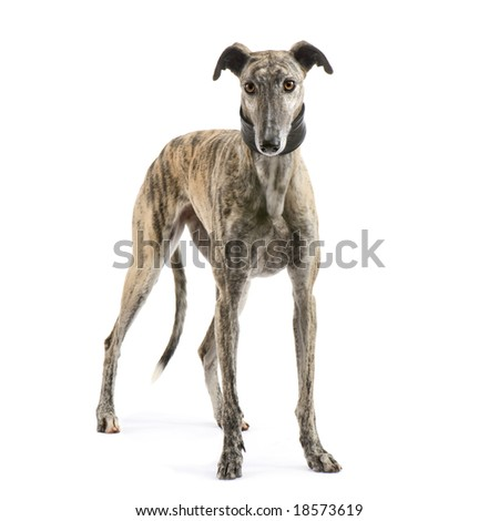 Galgo Espanol (2 years) in front of a white background - stock photo