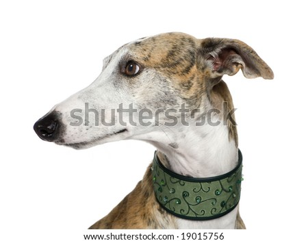 Galgo Espanol (4 years) in front of a white background - stock photo
