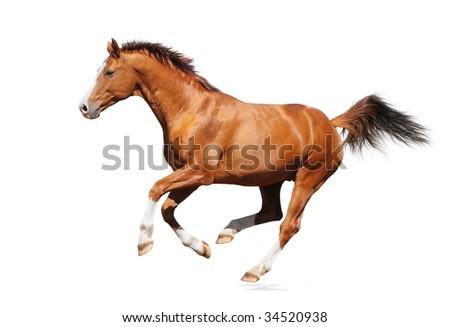 Gallop horse - sorrel trakehner stallion isolated on white - stock photo