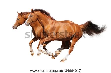 Gallop horses - sorrel trakehner stallion isolated on white - stock photo