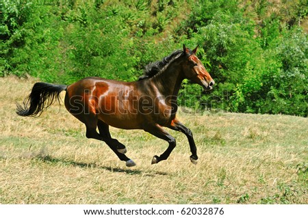 Galloping bay horse in field - stock photo