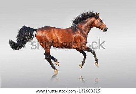 galloping bay sportive breed  horse isolated - stock photo
