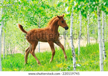 Galloping cute chestnut  foal in spring field - stock photo