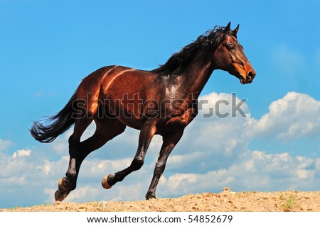 Galloping dark wild stallion against blue sky - stock photo